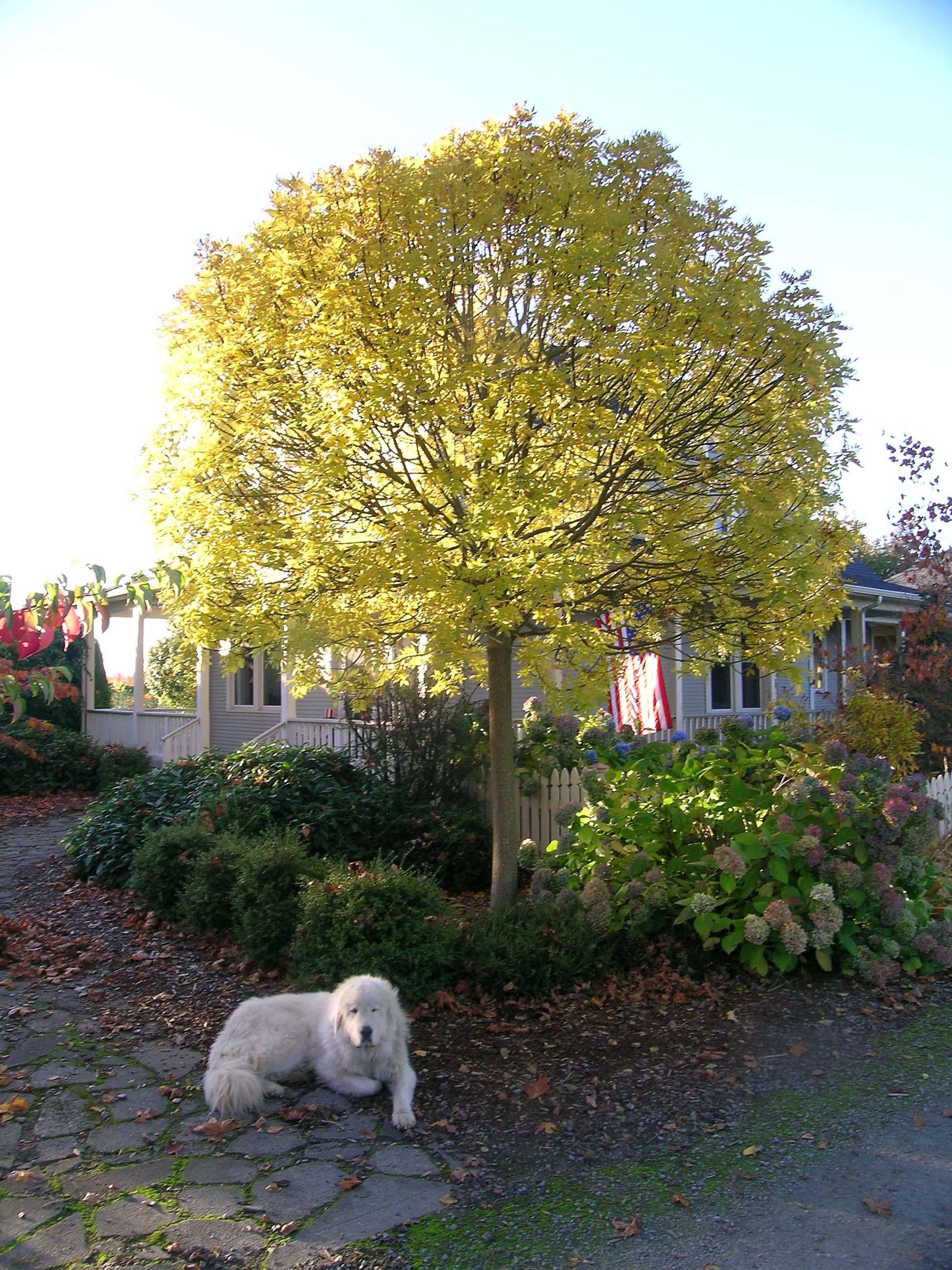 Globehead European Ash Fall Color