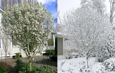 Jack Callery Pear Spring Flowers & Winter Snow