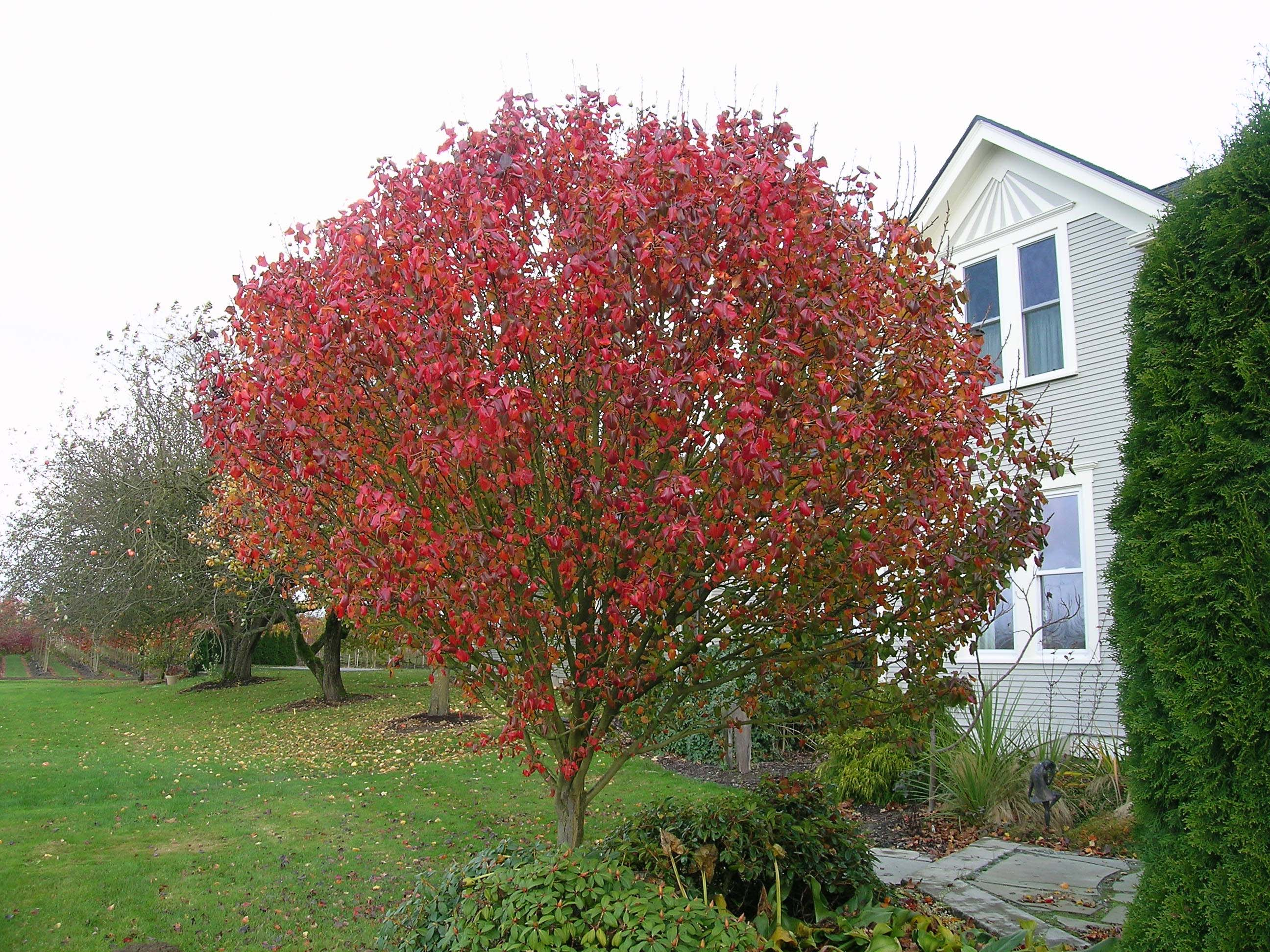 Jack Callery Pear Fall Color