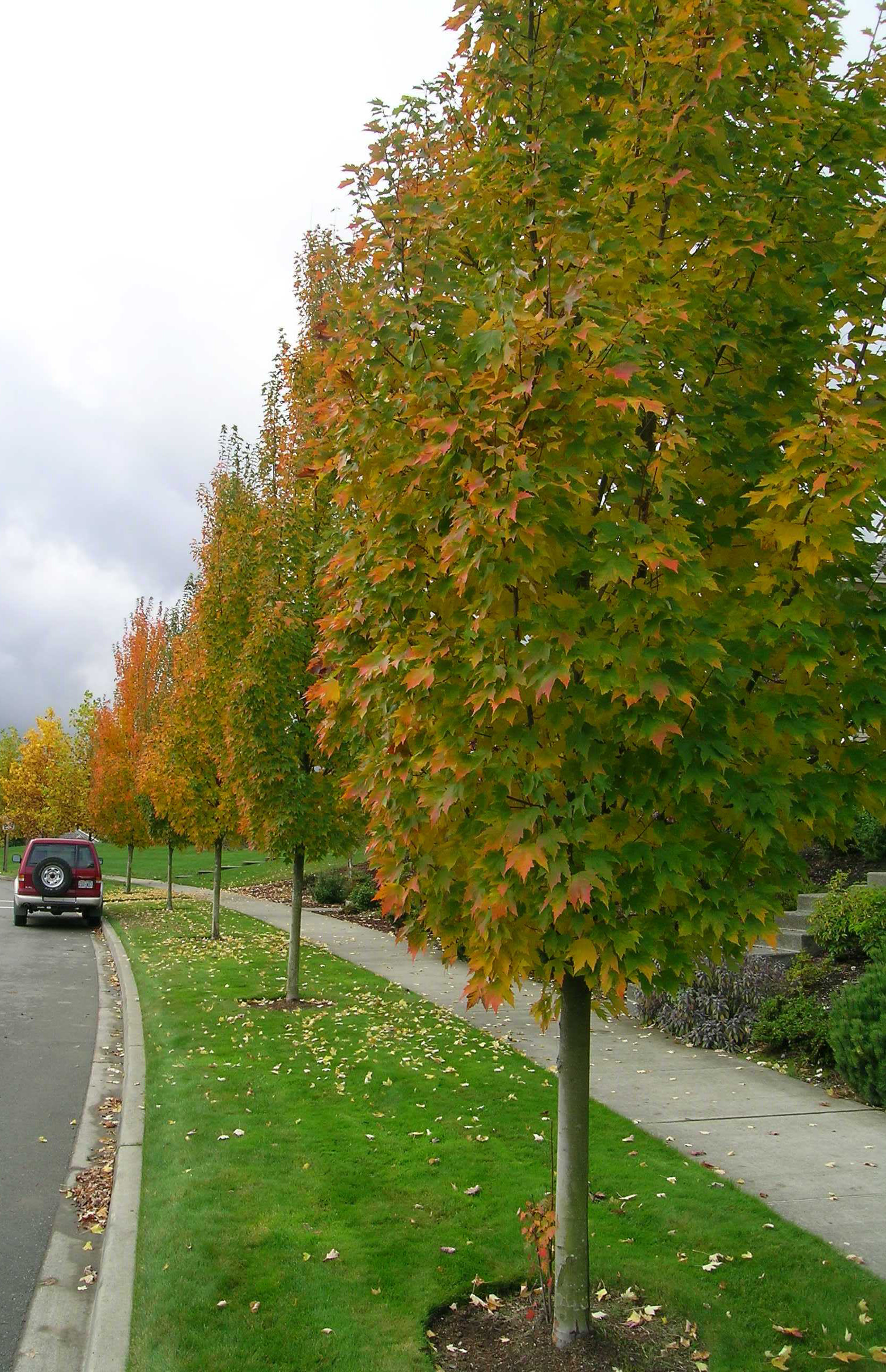 Karpick Red Maple