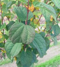 Katsura Leaf