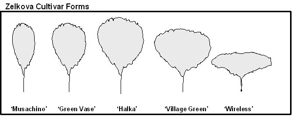 Japanese Zelkova Cultivar Forms