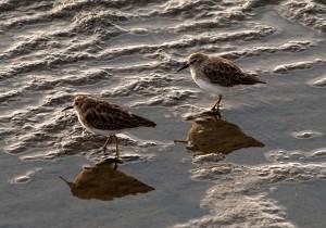 """Sandpiper Browns"" by Debora Tidwell"