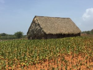 House in a tobacco field