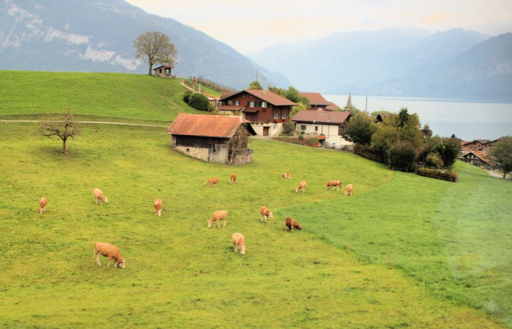 Cows and chalets