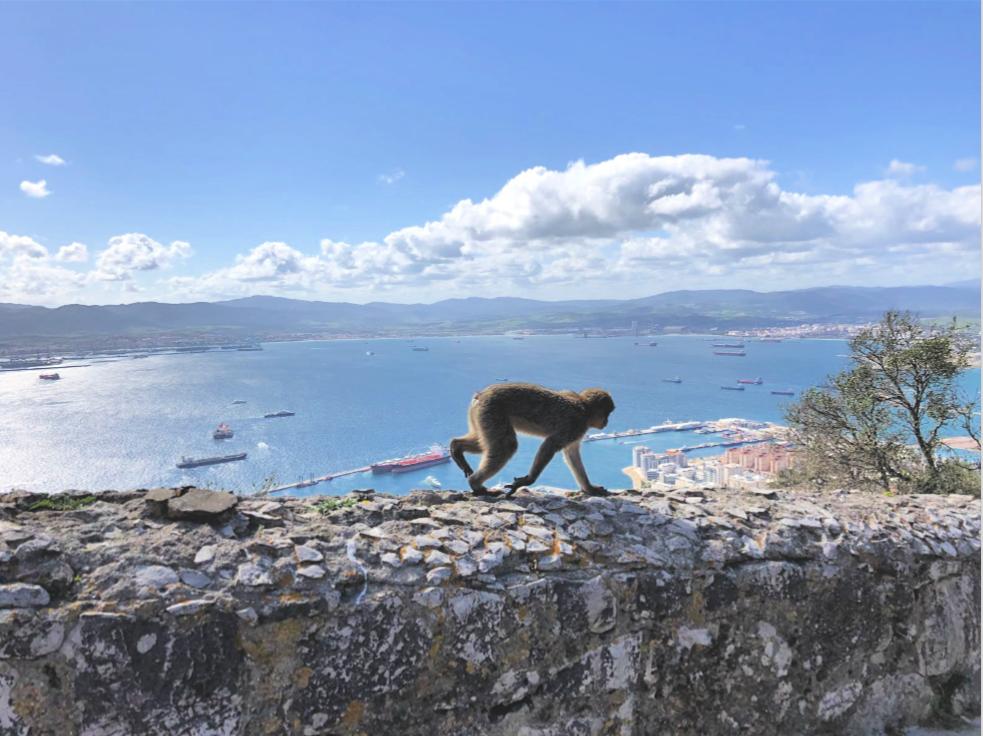 A wild monkey on the top of the Rock of Gibraltar
