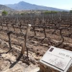 Lote 40, the first Tannat vine