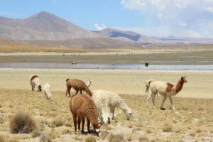Llamas greeting us upon arrival