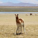 A cute llama on her own