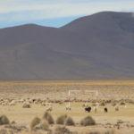 Sheeps in a football field