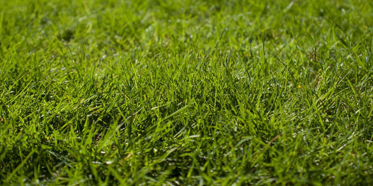 Real green grass