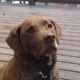 Dog: Lost Chesapeake Bay Retriever