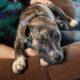Dog: Missing Pitmix Pup