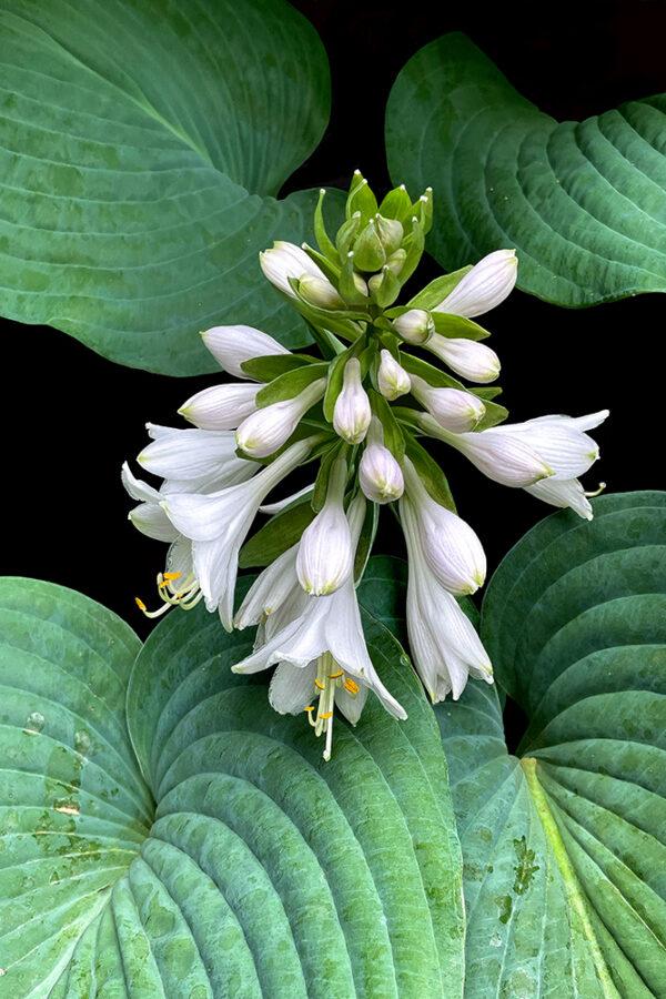 digital art floral crown jewels howard spielman