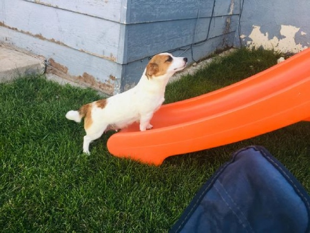 Reynolds Shorty Jack Russsell Terriers
