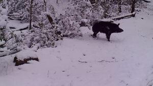 Wild Pig in Snow