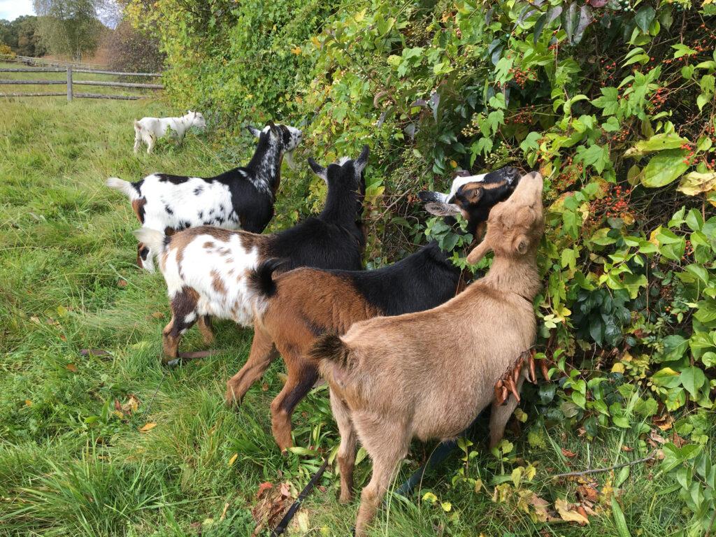Goats at Chiesa Farm