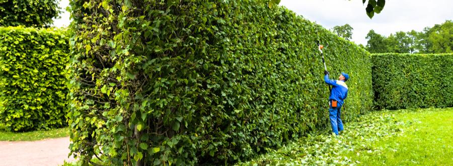 cutting clusia hedges