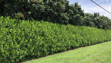 clusia hedge