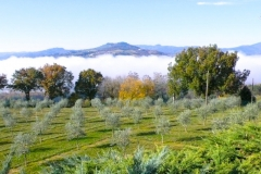 Morning mist beyond tightly pruned olive trees