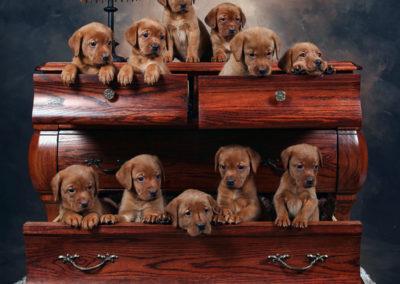 Puppies in Dresser