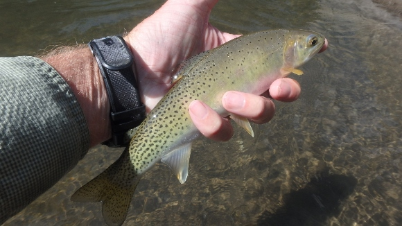 """A nice 10"""" native cutthroat that took a #16 black ant pattern."""