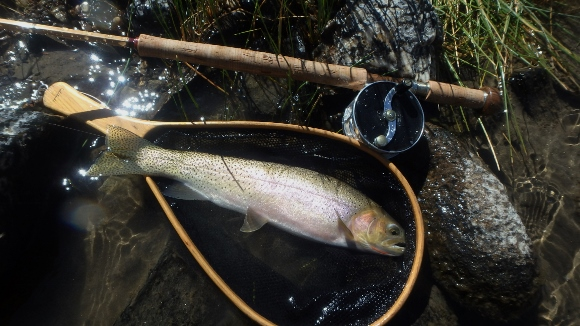 A beautiful native Cutthroat Trout that took a #12 foam bodied Black Caddis skated across the surface of a shallow run.
