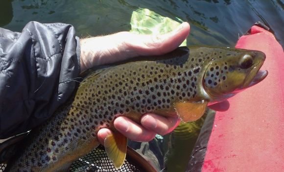 A beautiful Manzanita Lake Brown trout that took a #14 black and red chironomid.