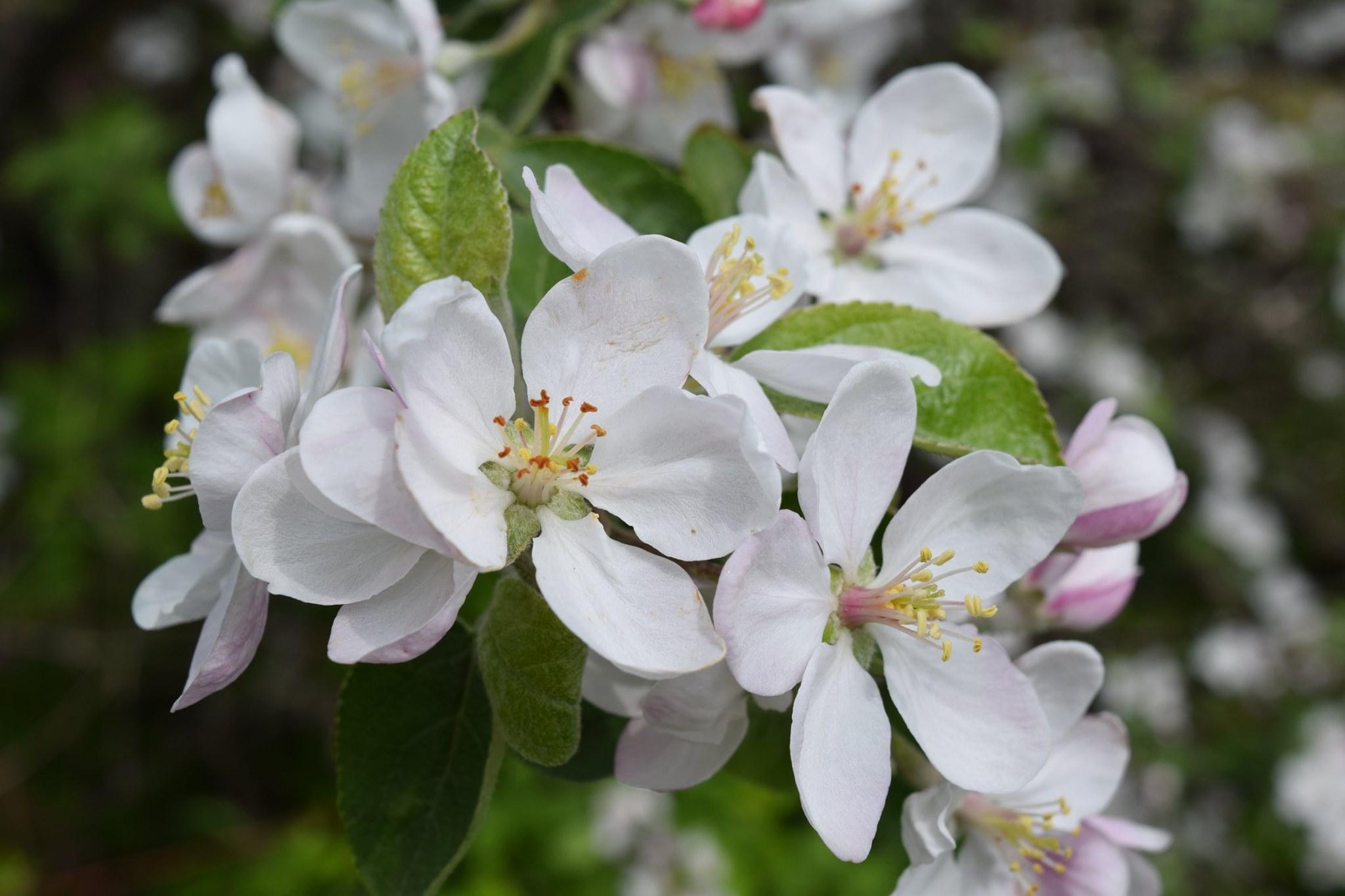 Fleurs d'un pommier dans le cimetière du village