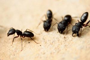 Suspect Carpenter Ants? Get your WDI Inspection
