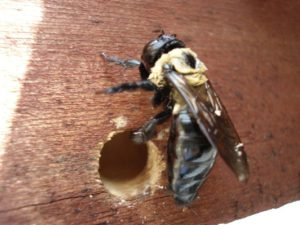 Carpenter bees boring a hole? Get a WDI Inspection