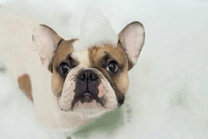 French Bulldog bathing at Preppy Pet West Houston