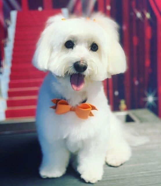 Dog Grooming   Coton De Tulear   Preppy Pet West Houston