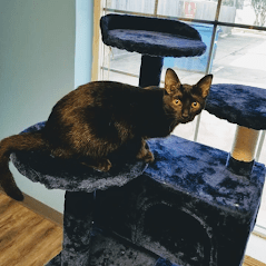 Cat Playing on Tower | Preppy Pet West Houston