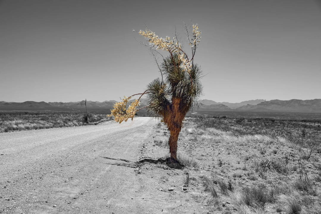 This Palm tree stands along a dirt road just across the Mexican Border in Nogales Az