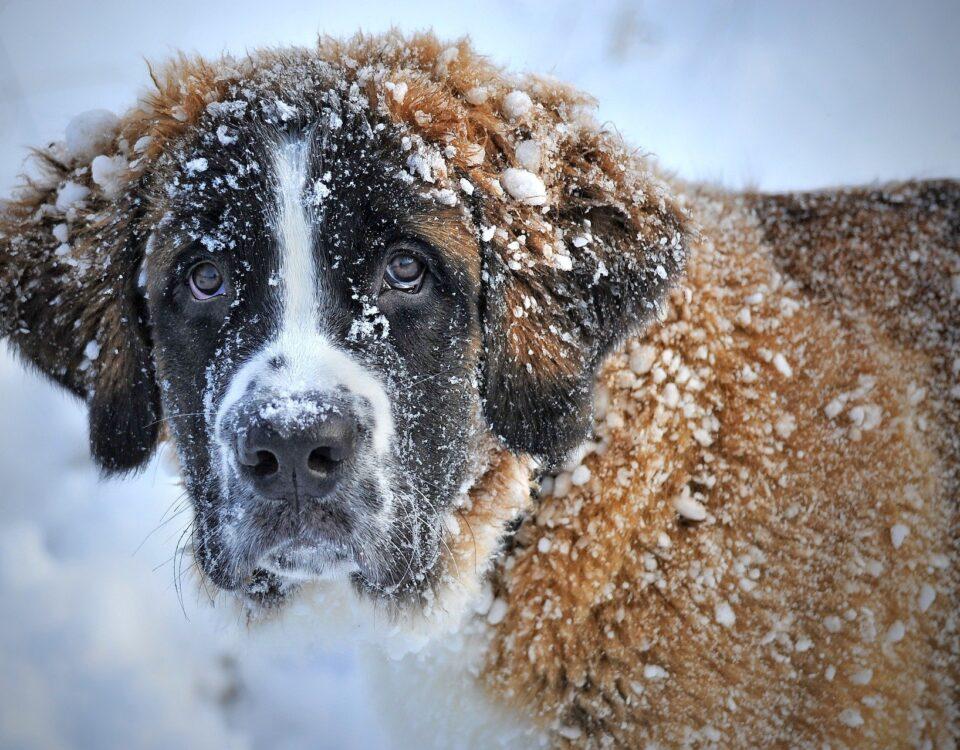 Saint Bernard in Snow