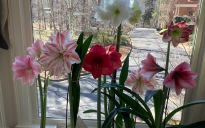 Plants: An Amaryllis Obsession by RGC Blogger Gretchen Collins