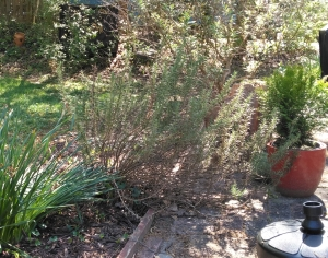 Garden Week in Georgia: Hard-Pruning Rosemary or Down the Rabbit Hole by RGC Blogger Suzy Crowe
