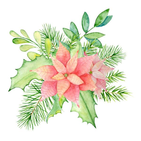 Pink Poinsettia