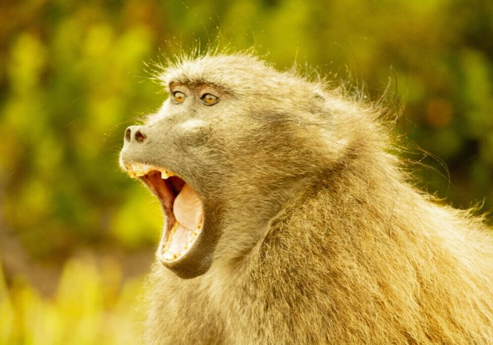 South African Catcha baboon near Cape Town