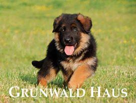 german shepherds massachusetts