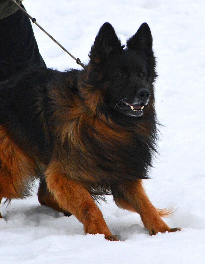 long coated german shepherd puppies