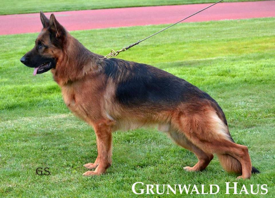 german shepherds connecticut