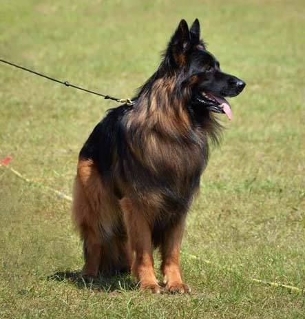 long coat german shepherds