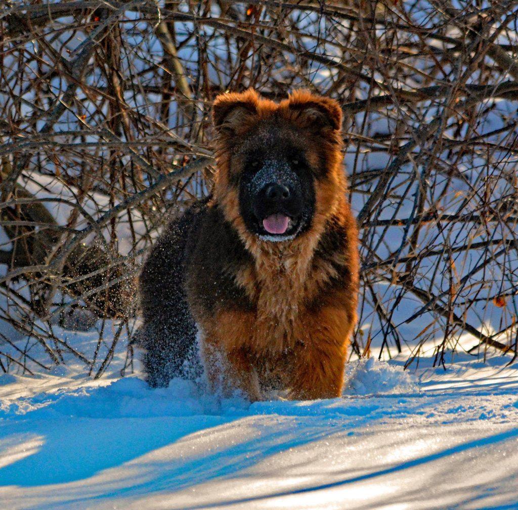 long coated german shepherd puppy