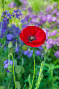 flower, nature, photograph, red, poppy, floral