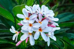 flower, nature, photograph, white, Plumeria, tropical, floral