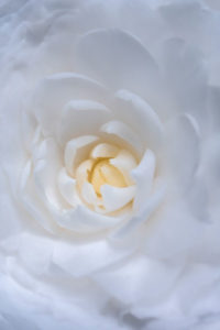 flower, nature, photograph, white, Camellia, floral