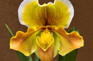 flower, nature, photograph, Venus Slipper, floral, yellow
