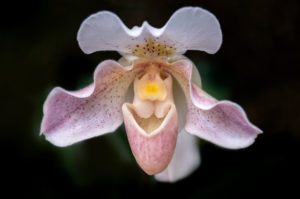 flower, nature, photograph, pink, orchid, Venus Slipper, floral, white